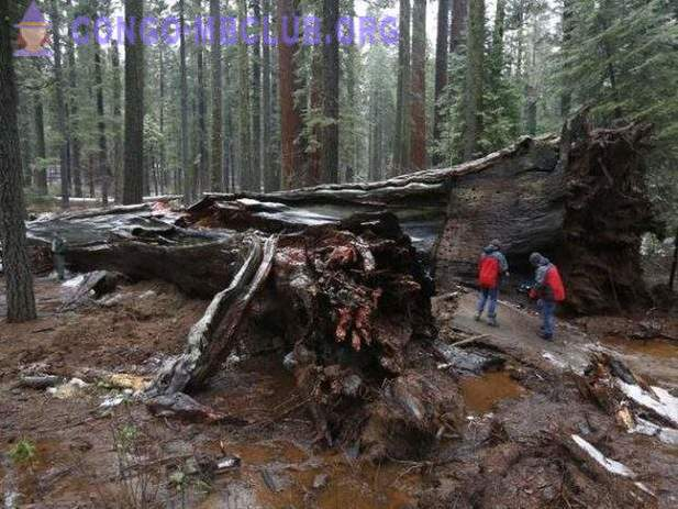 In the US, collapsed giant sequoia with a tunnel inside