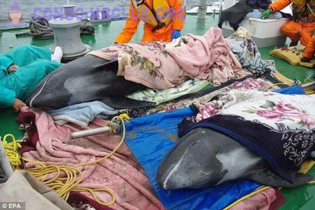 In Japan, more than 130 dolphins washed ashore