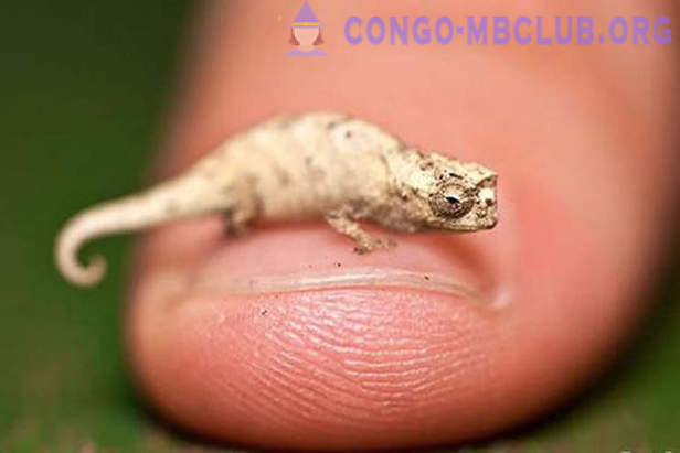 The smallest chameleon in the world has a length of 3 cm