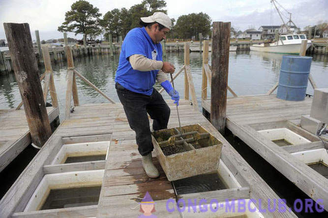 How to grow oysters in the Chesapeake Bay Farms