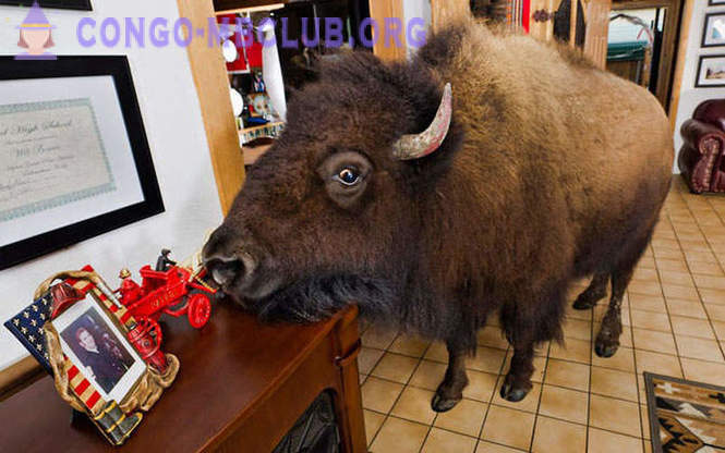 In the same house with bison